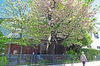 八重桜とうぐいすの鳴き声と - あの町 この道