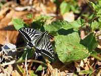 春の蝶 五目撮り - 風任せ自由人