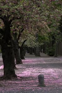桜道 - 彩りの軌跡