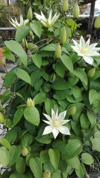 うれしい春の宿根草とタケノコ - Rose&Farm
