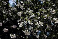 山桜 - デジタルで見ていた風景