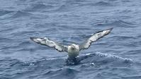 アホウドリの海面からの飛び出し - Life with Birds 3