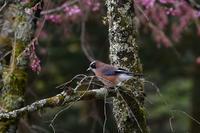 桜にカケス オオルリ - 鳥さんと遊ぼう