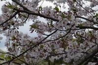 ♪ ダニエル 満開のソメイヨシノ~桜がいっぱい~(*^。^*) ♪ - happy west DANIEL story