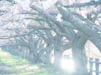鹿妻本堰の桜並木 - morioka暇人日記2