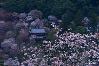 一躍の春:10:桜花繚乱 - walk with my Camera