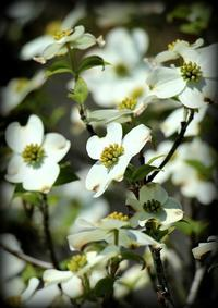 桜色から若草色へ - 秋田犬「大和と飛鳥丸」の日々Ⅱ