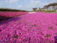 『芝桜(モスフロックス)と姫金魚草(リナリア)と鬱金香(チューリップ)の花達~』 - 自然風の自然風だより