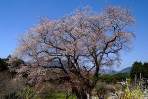 桜の思い出5 - 秋桜航空
