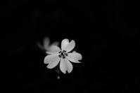--- 芝桜 --- - Rphotography