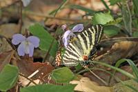 ヒメギフチョウ  信州・越後彷徨の旅 - 蝶のいる風景blog