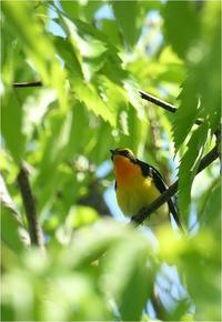 あちこちにキビタキ@大阪府 - とことんデジカメ ♪野鳥写楽