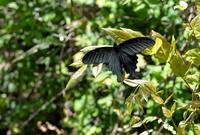 今年観た初見のチョウ - 旅のかほり