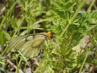 ウスバシロチョウ初見 - 秩父の蝶