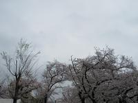 少し早目の造幣局の桜♪ - a&kashの時間。