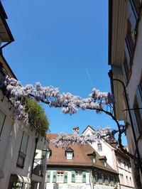 藤の花が満開です!今年は早いなぁ。 - ドイツの優しい暮らし Part 2