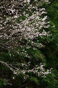 圧倒的桜。2017 - Sauntering