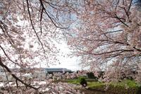 桜再戦① - 新幹線の写真