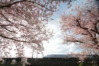 桜再戦② - 新幹線の写真