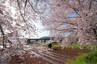 桜再々戦 - 新幹線の写真