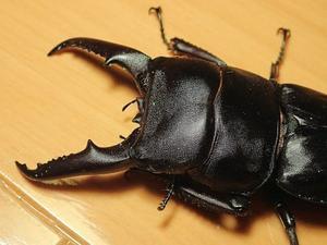 本土ヒラタクワガタ・80系の♂最大個体サイズは? - 気楽な毎日