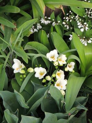 ぷっくりとした蕾が可愛いフリージアが咲き出しています♪ - ベルバーンに魅せられて