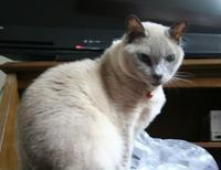 トンキニーズ バーバラの探検 - MINKWIN Cattery &Pretty Aki