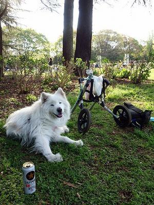 日曜おっきな公園 - サモエド クローカのお気楽日記