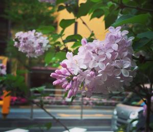 ライラック - A線上のアリア☆チェンバロ奏者 廣澤麻美 公式ブログ  Asami Hirosawas Blog