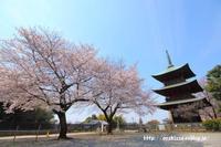 《花》 西福寺の染井吉野 - 100-400ISの部屋
