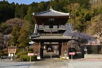 西光寺 枝垂れ桜 2 - photograph3