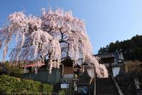 東昌寺 枝垂れ桜 2 - photograph3