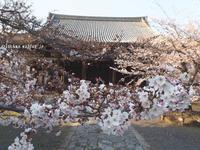 立本寺の桜@京都 - アリスのトリップ