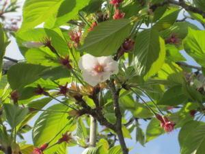 サヨナラ桜 - 自然の恵みに感謝して。