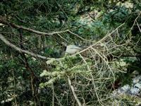 オナガ、多摩平の森 - 西多摩探鳥散歩
