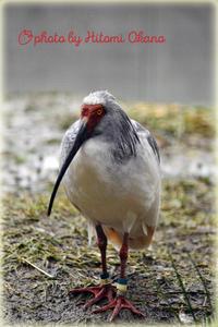 二月の動物園 朱鷺 Nikon D800 - ひとみの興味津々でございます!日々のブログ