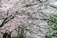 Sakura2017 *05 / 笠置の桜 - noBBy's *PhotoLabo*