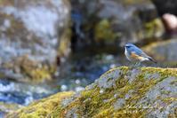 渓谷のルリビタキと詩「ぼろぼろな駝鳥」 - フォト エチュード  Photo-Etudes