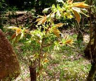 緑の桜、咲きました - 金沢犀川温泉 川端の湯宿「滝亭」BLOG