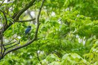 地元の公園のオオルリ♂ - あだっちゃんの花鳥風月