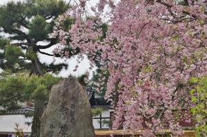 京の名残の桜を求めて(2)栄西禅師の誕生を祝し・・・ - たんぶーらんの戯言