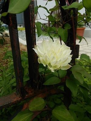 白い花たち。 - 古道具ときどき猫。