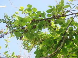 キウイフルーツの苗木 - 丹後半島 のんびり気まま暮らし