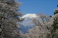 桜満開、お宮橋 - 風とこだま
