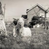 2017年4月27日 陽光の中で微笑む山羊さん - Silver Oblivion