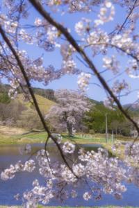 千鳥別尺のヤマザクラ - 写真ブログ「四季の詩」