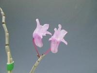 セッコクが咲き始めました - DREAM GRASSES