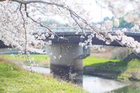 桜づつみ回廊@武庫川沿い〜1〜 - *PHOTOMOMIN*
