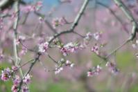 モモの花 その2 - Jester's Pictures