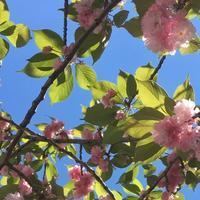 八重の桜^_^v - ~おざなりholiday's^^v~ <フィルムカメラの写真のブログ>